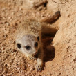 Meerkat - Suricata suricatta - Foto Stock