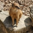 Yellow Mongoose - Cynictis penicillata - Stockfoto
