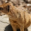 Yellow Mongoose - Cynictis penicillata — Stock Photo