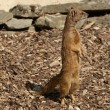 Yellow Mongoose - Cynictis penicillata - Foto Stock
