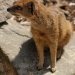 Yellow Mongoose - Cynictis penicillata - 