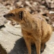 Yellow Mongoose - Cynictis penicillata — 图库照片