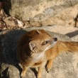 Yellow Mongoose - Cynictis penicillata - Foto de Stock