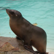 Californian Sea Lion - Zalophus californianus — Stock Photo