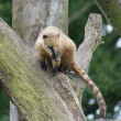 Coati - Nasua nasua — Stock Photo