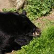 Stock Photo: Asiatic Black Bear - Ursus thibetanus