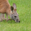 Agile Wallaby - Macropus agilis — 图库照片