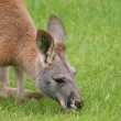 Agile Wallaby - Macropus agilis — Foto Stock