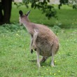 Western Grey Kangaroo - Macropus fuliginosus - Stock Photo