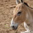Onager - Equus hemionus — Stock Photo