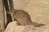 Banded Mongoose - Mungos mungo — Stock Photo