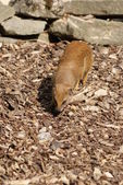 黄猫鼬-cynictis penicillata — 图库照片