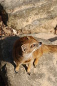 Yellow Mongoose - Cynictis penicillata — Стоковое фото