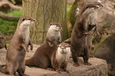 Oriental Small-clawed Otter - Aonyx Cinerea — Stock Photo