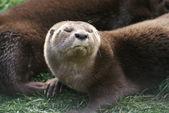 Spot-necked Otter - Hydrictis maculicollis — Stock Photo
