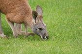 Agile Wallaby - Macropus agilis — Stock Photo
