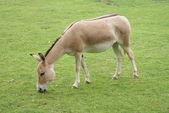 Asiatischer esel - equus hemionus — Stockfoto