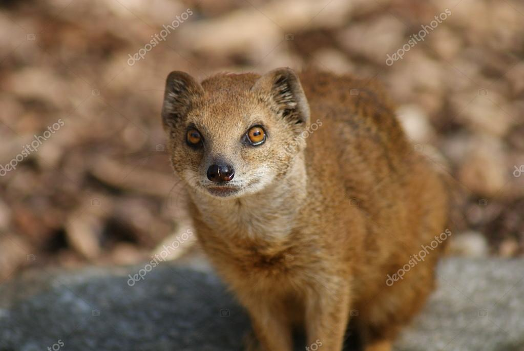 Yellow Mongoose - Cynictis penicillata  Stock Photo #18135707