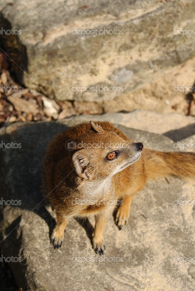 Yellow Mongoose - Cynictis penicillata  Foto de Stock   #18135749