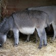 Donkey - Equus africanus asinus — Stock Photo