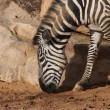 Royalty-Free Stock Photo: Grant\'s Zebra - Equus quagga boehmi