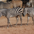 Grants Zebra - Equus quagga boehmi - Stock Photo