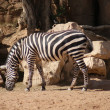 Grants Zebra — Stockfoto