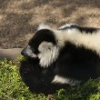 Black and White Ruffed Lemur - Varecia variegata — Stock Photo