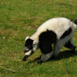 Black and White Ruffed Lemur - Varecia variegata - Stock Photo