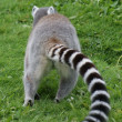 Ring-tailed Lemur - Lemur catta — Foto Stock