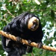 Stock Photo: White-faced Saki - Pithecipithecia