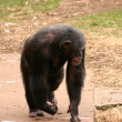 Common Chimpanzee - Pan troglodytes - Stock Photo
