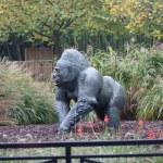 Western Lowland Gorilla - Gorilla gorilla gorilla - Silverback — Stock Photo #18143033