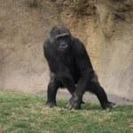 Western Lowland Gorilla - Gorilla gorilla gorilla — Stock Photo #18143163