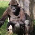 Western Lowland Gorilla - Gorilla gorilla gorilla — Stock Photo