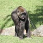 Western Lowland Gorilla - Gorilla gorilla gorilla - Silverback — Stock Photo