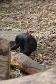 Sulawesi crested macaco - macaca nigra — Foto Stock