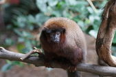 Coppery Titi - Callicebus cupreus — Stock Photo