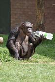 Gemeinsame schimpansen - pan troglodytes - kunststoff-flasche — Stockfoto