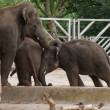 Asian Elephant - Elephas maximus — Foto Stock