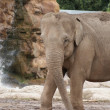 Asian Elephant - Elephas maximus - Stockfoto