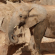 South African Elephant - Loxodonta africana africana - Stock Photo