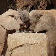 Love of the African Bush Elephant - Loxodonta africana - Stockfoto