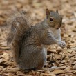 Grey Squirrel - Sciurus carolinensis — Stock Photo