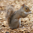 Stock Photo: Grey Squirrel - Sciurus carolinensis