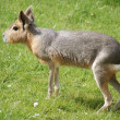 Patagonian Mara - Dolichotis patagonum - Stock Photo