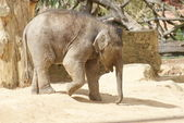 Asian Elephant Calf - Elephas maximus — Stock Photo