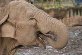 Asian Elephant - Elephas maximus — 图库照片