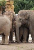 Asiatischer elefant - elephas maximus — Stockfoto