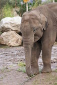Asian Elephant - Elephas maximus — Stock Photo